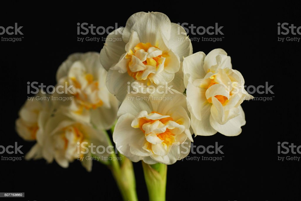 Bouquet Daffodil with double flowers in black background. stock photo