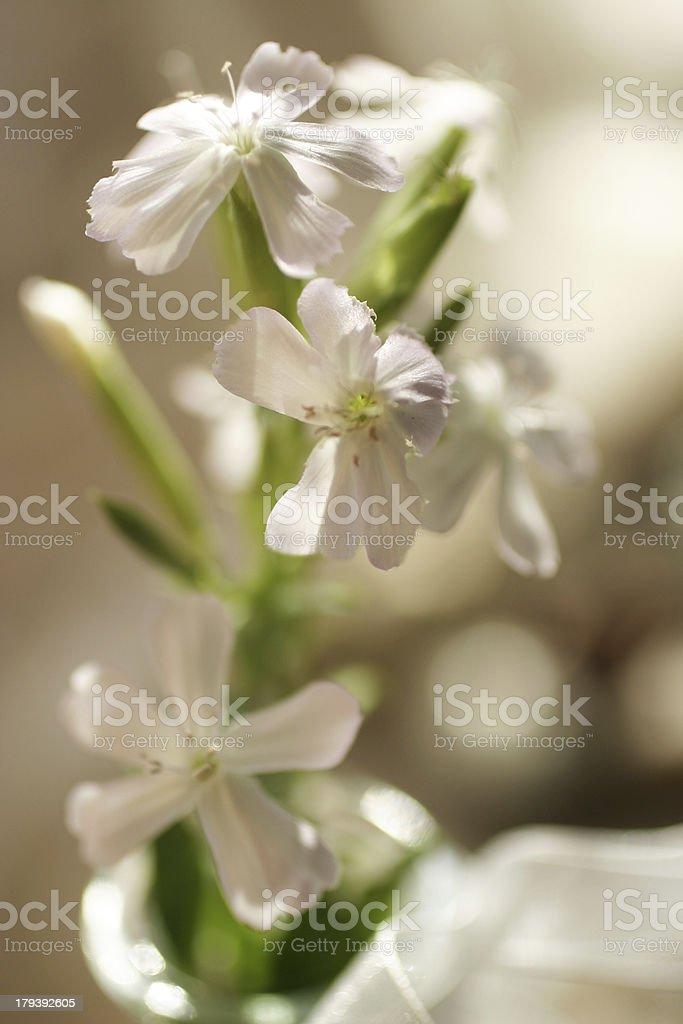 Bouquet de fleurs blanches, saponaire officinale royalty-free stock photo