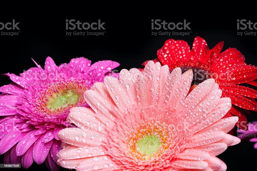 Bouquet gerbera royalty-free stock photo