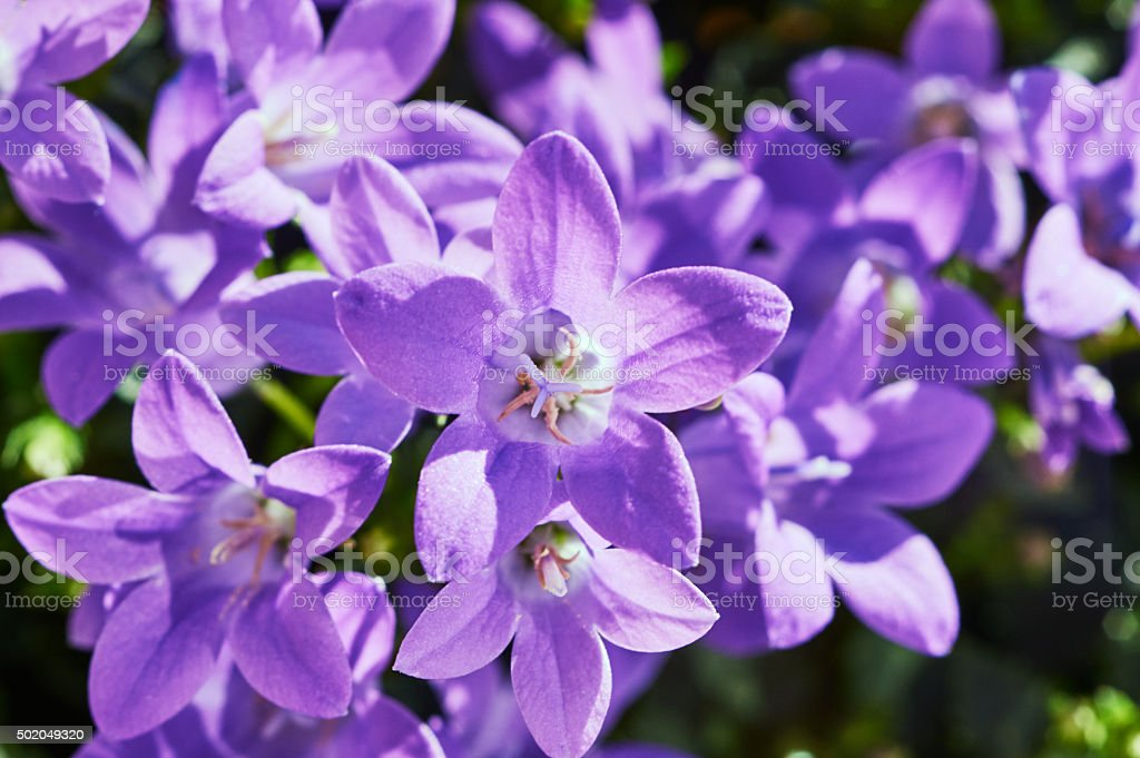 bouquet of beautiful purple Campanula flowers stock photo