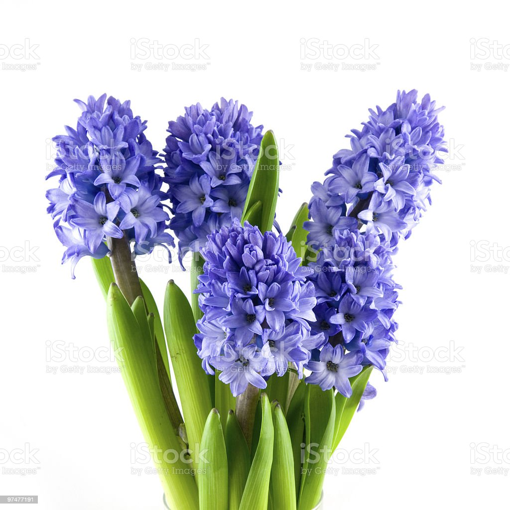 Bouquet of blue hyacinth isolated on a white background stock photo
