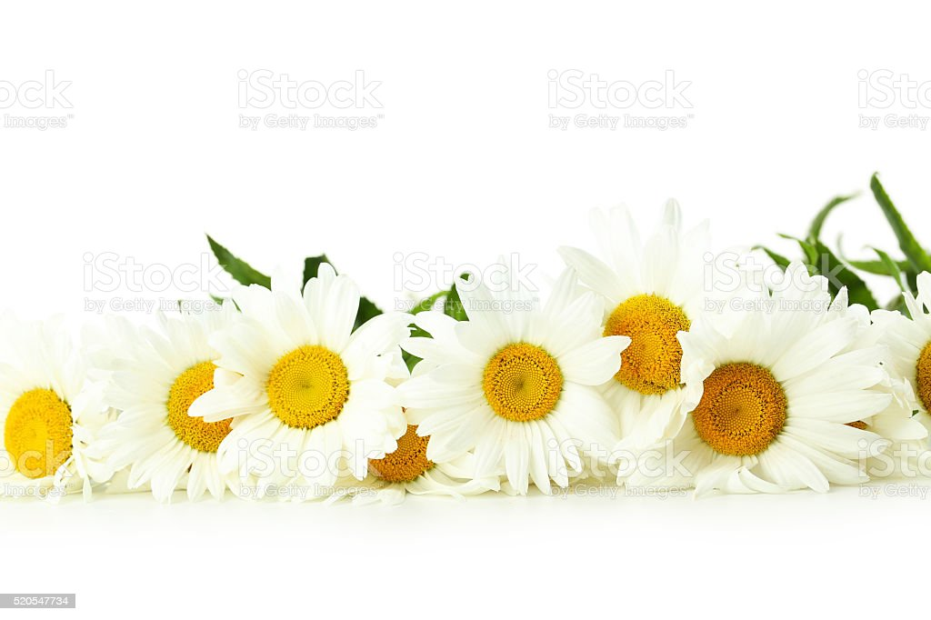 Bouquet of chamomile flowers on a white background stock photo