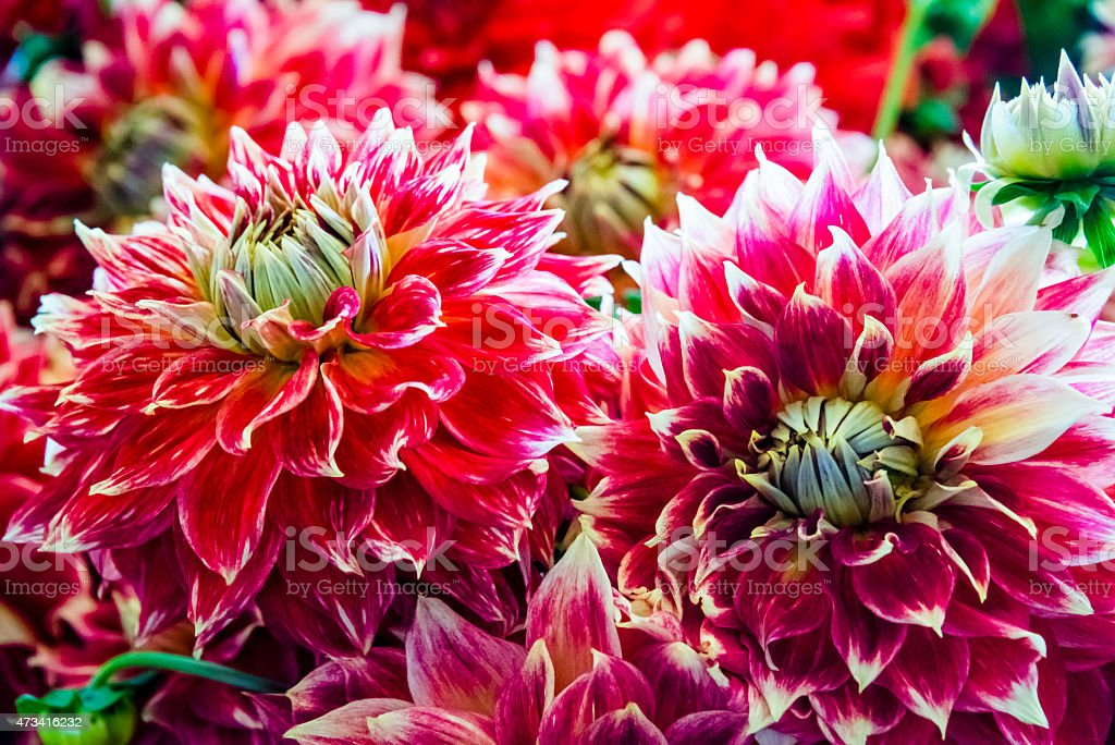 Bouquet of colorful red dahlia flowers stock photo