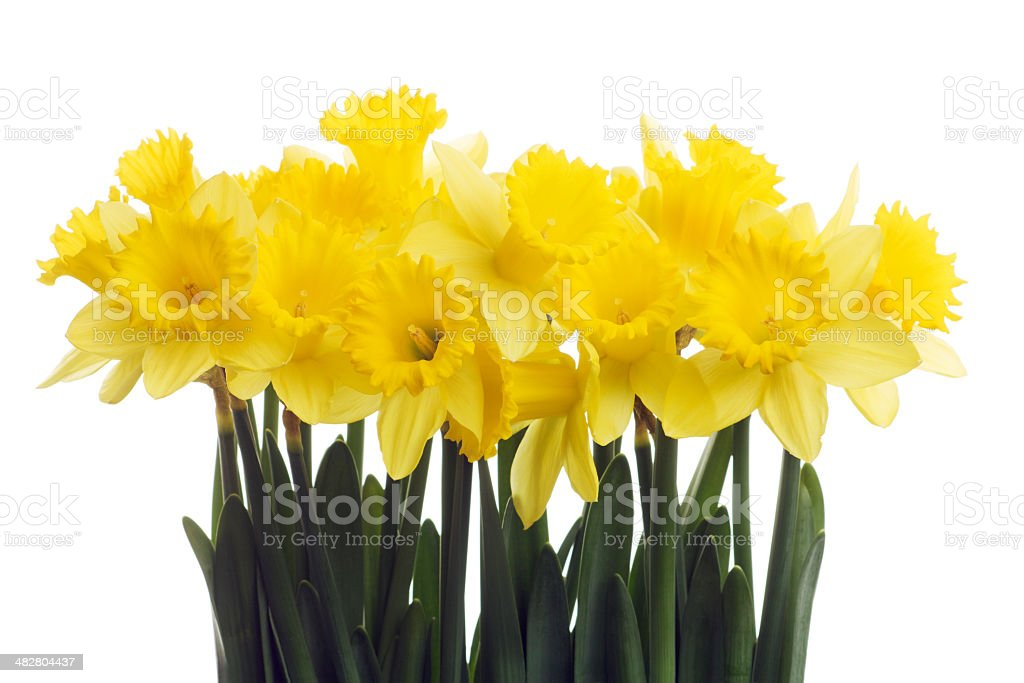 Bouquet of Daffodils royalty-free stock photo