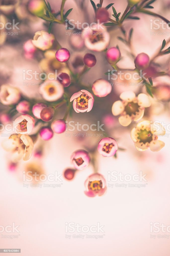 Bouquet of delicate waxflowers in bright light with pink background stock photo