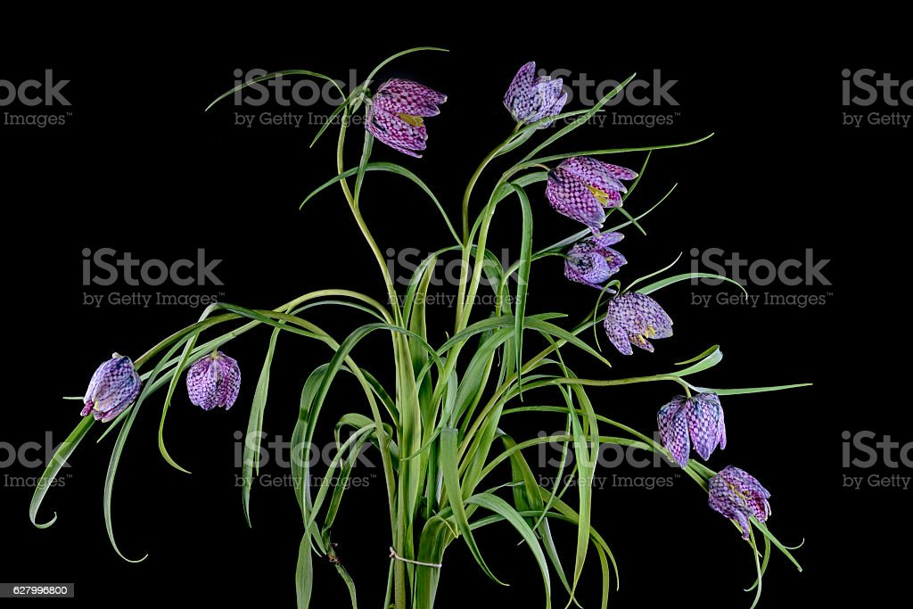 Bouquet of flowers of the Snake's Head Fritillary plant stock photo
