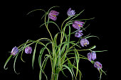 Bouquet of flowers of the Snake's Head Fritillary plant
