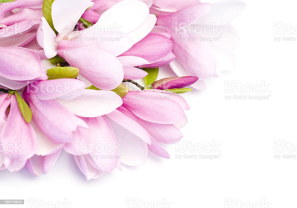 Bouquet of fresh magnolias stock photo