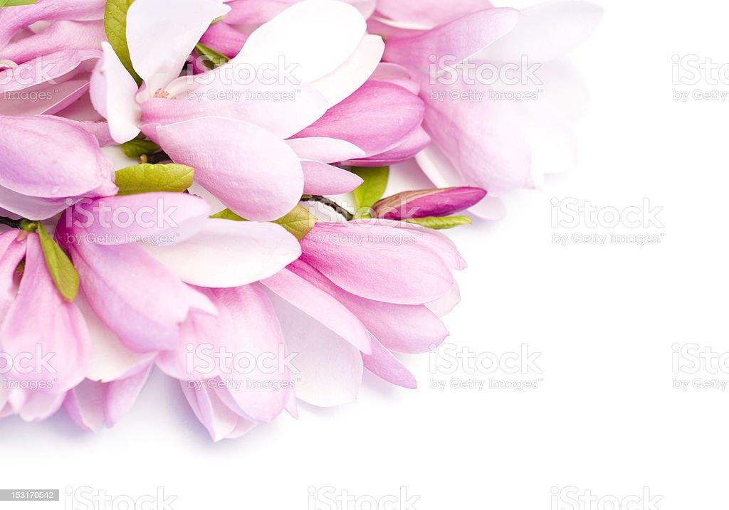 Bouquet of fresh magnolias stock photo