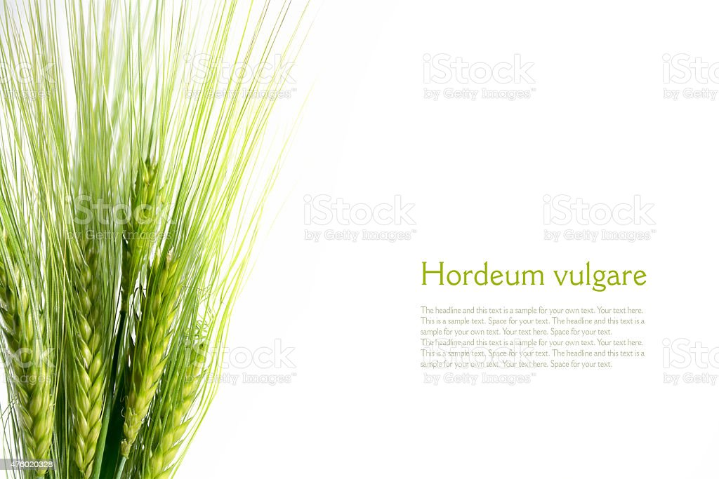 bouquet of green barley ears isolated on white background, sampl stock photo