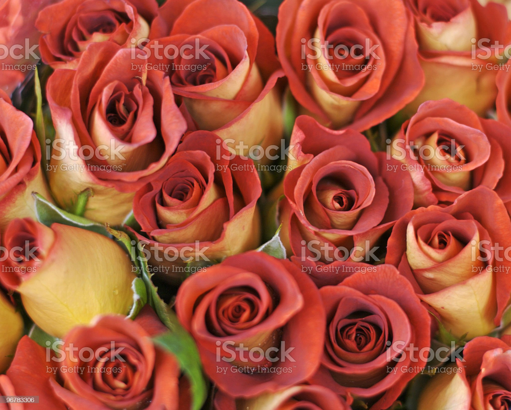 Bouquet of leonidas roses royalty-free stock photo