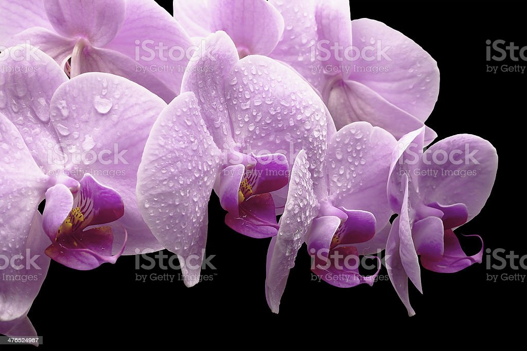 bouquet of magenta orchids royalty-free stock photo