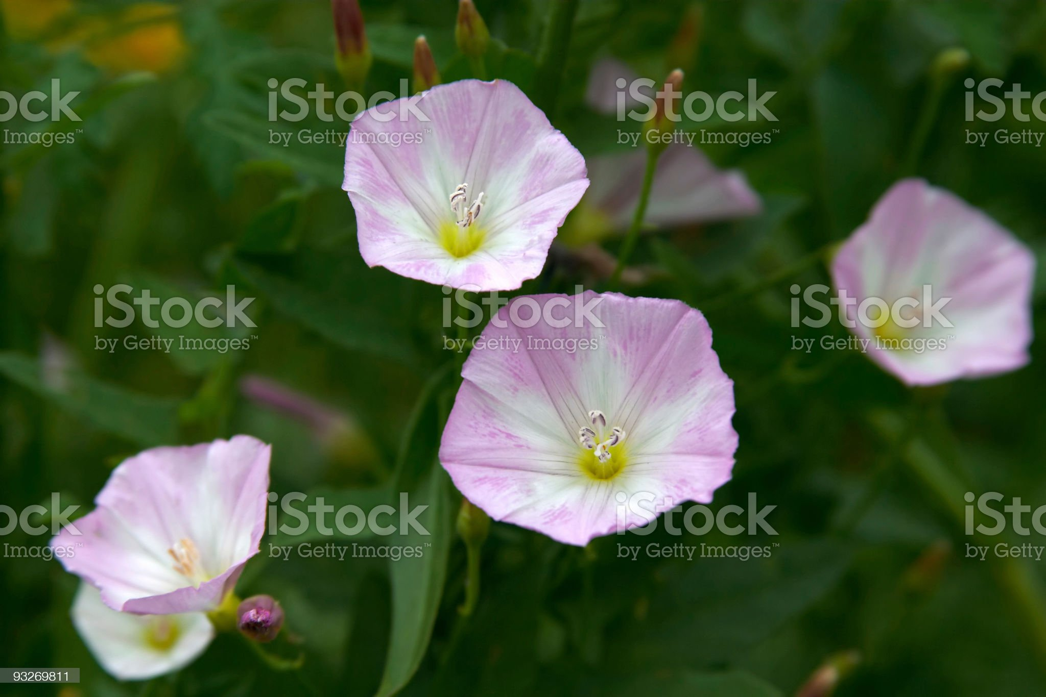 Bouquet of Morning Glories royalty-free stock photo