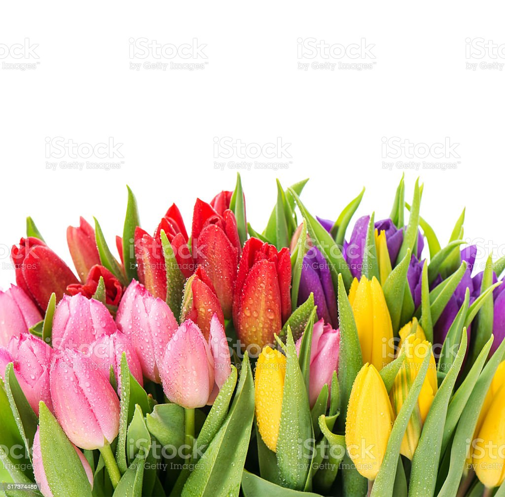 Bouquet of multicolor tulips over white background stock photo