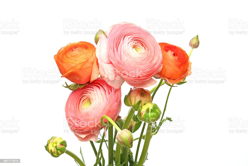 Bouquet of Persian buttercup stock photo