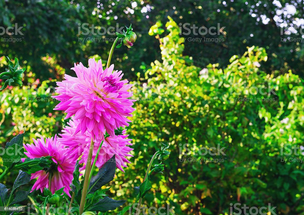 Bouquet of pink aster flowers stock photo