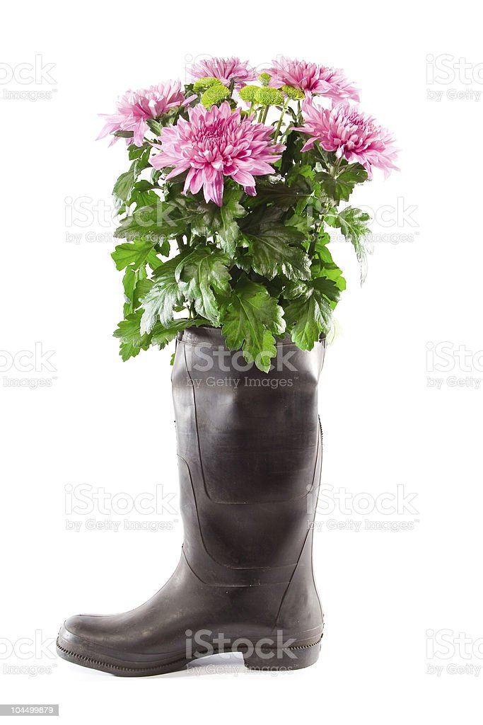 Bouquet of pink asters in a rubber boot. royalty-free stock photo
