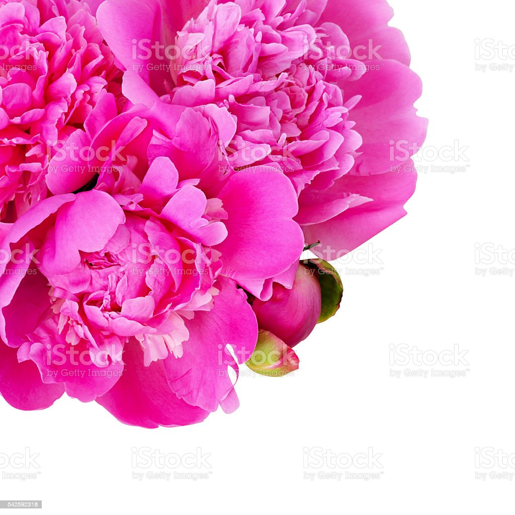 Bouquet of pink peony flowers in a corner stock photo 542592318 bouquet of pink peony flowers in a corner royalty free stock photo dhlflorist Images