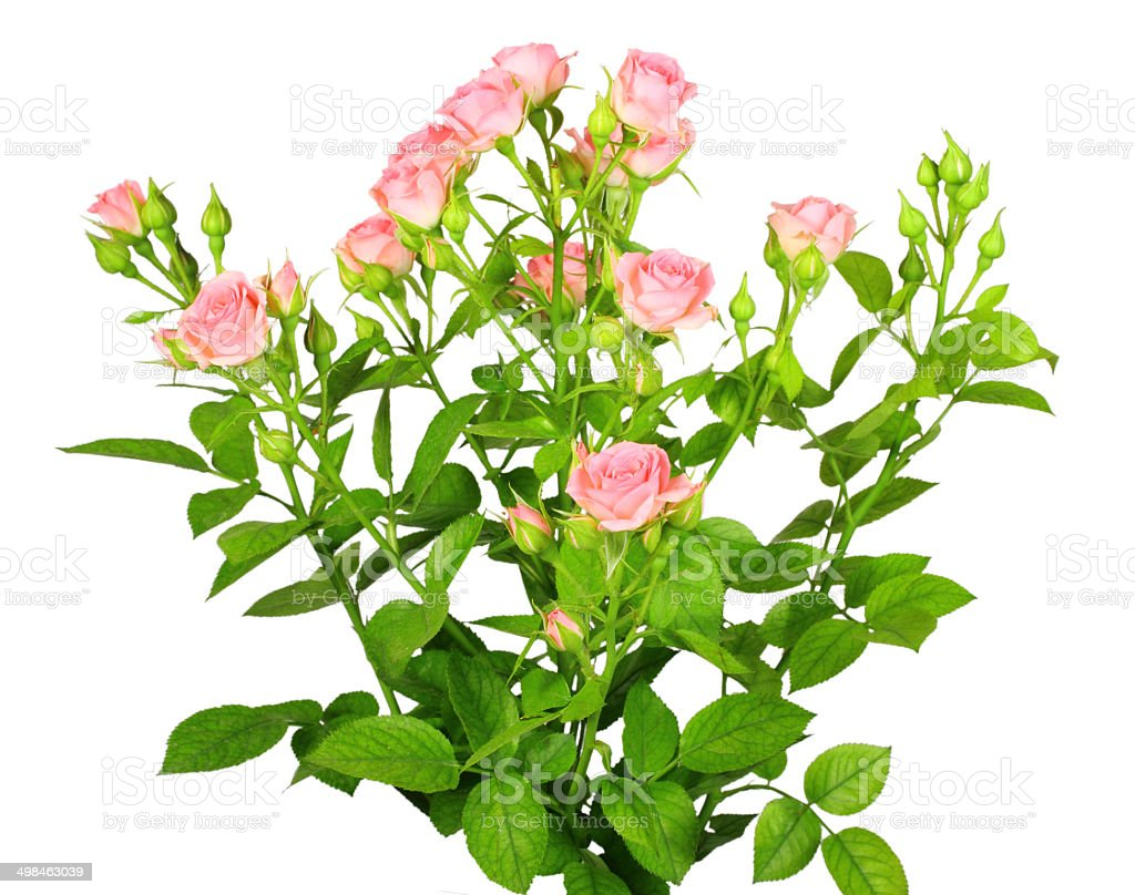 Bouquet of pink roses with green leafes stock photo