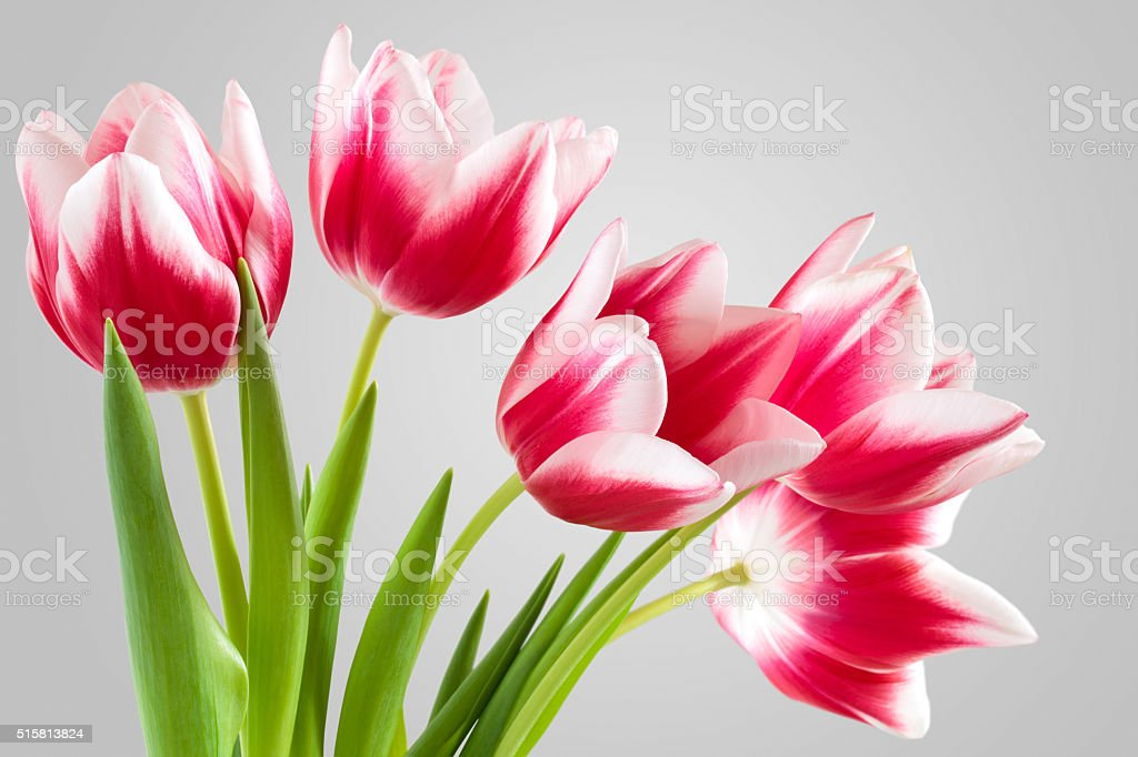 Bouquet of pink tulips. stock photo