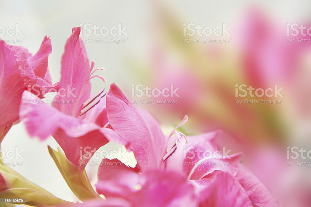 Bouquet of red gladioluses royalty-free stock photo