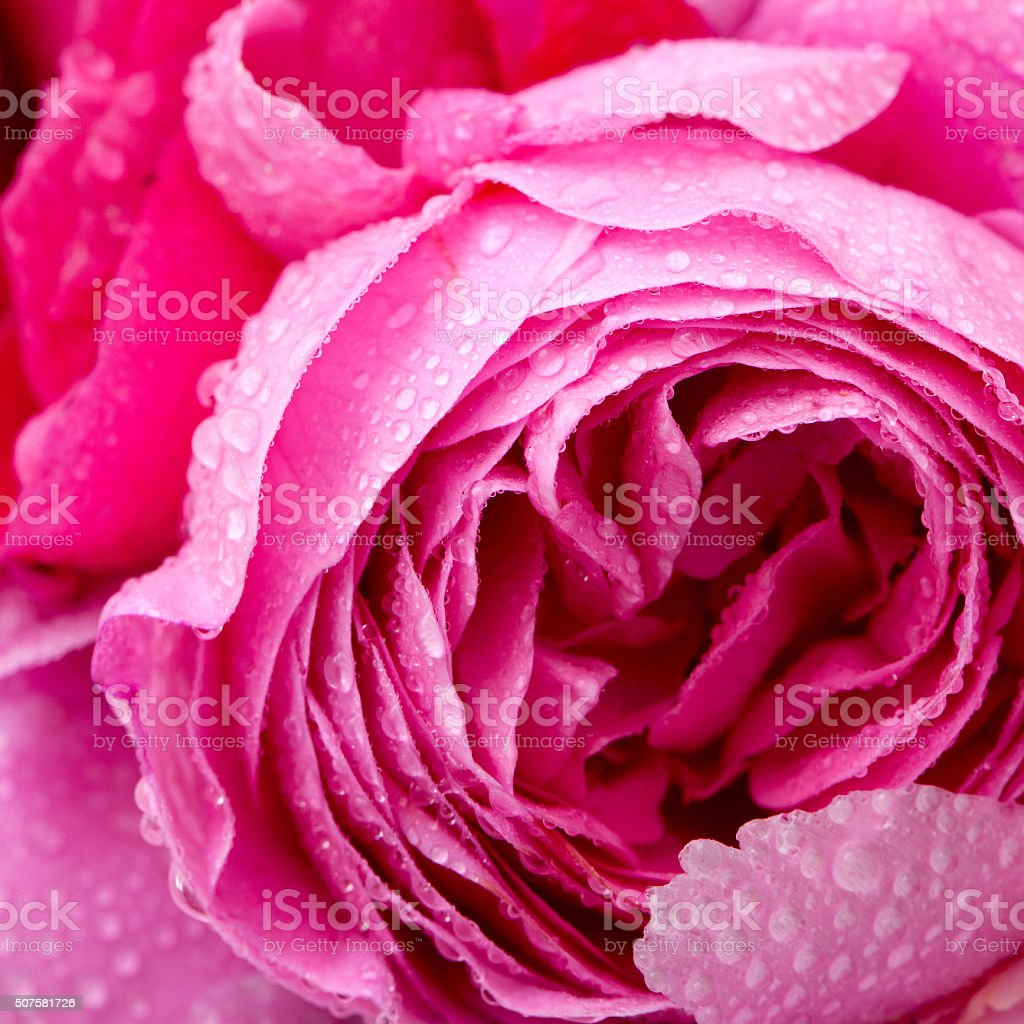 bouquet of roses and peonies stock photo
