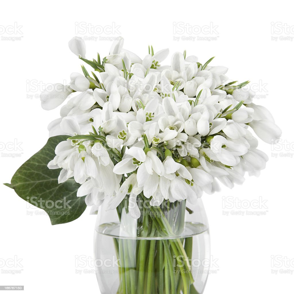 Bouquet of snowdrop flowers in glass vase, isolated on white royalty-free stock photo