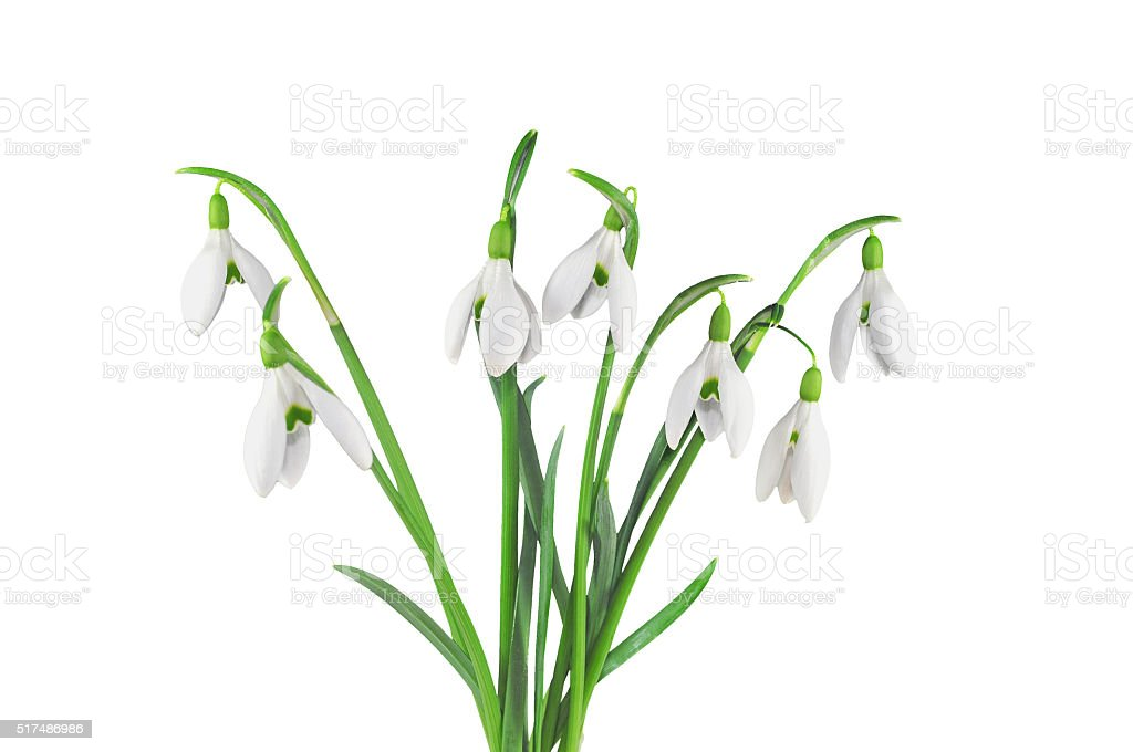 Bouquet of snowdrops, isolated on white stock photo