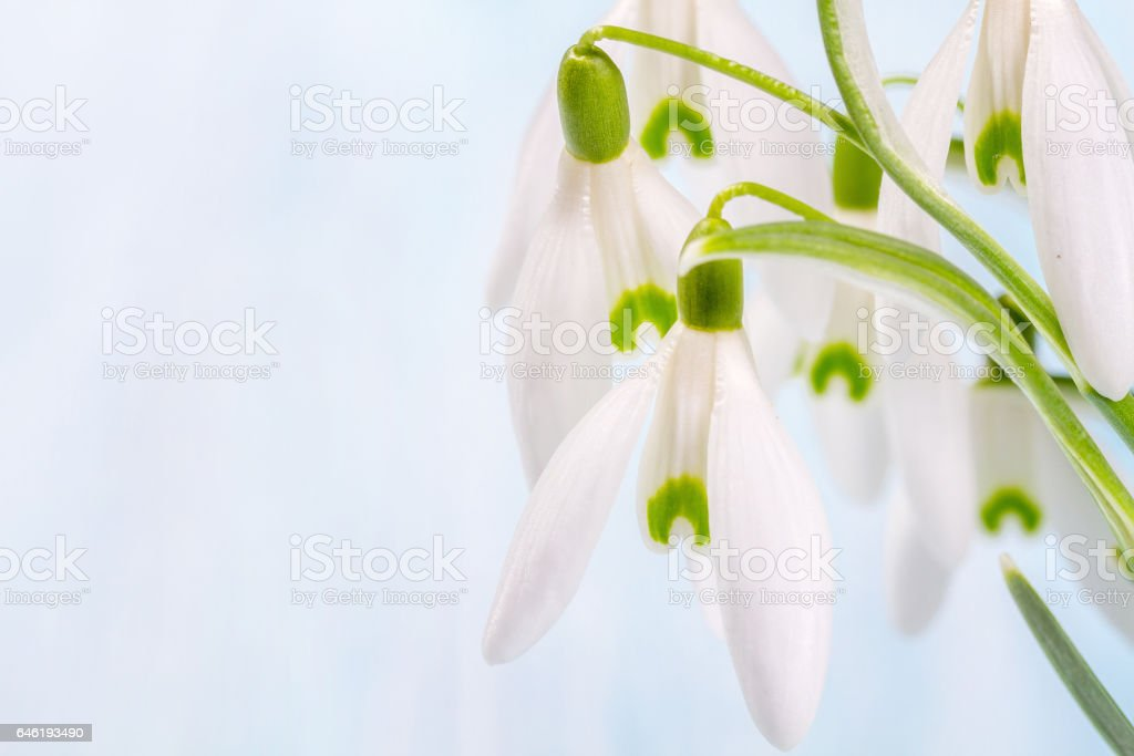 Bouquet of snowdropson a blue background stock photo
