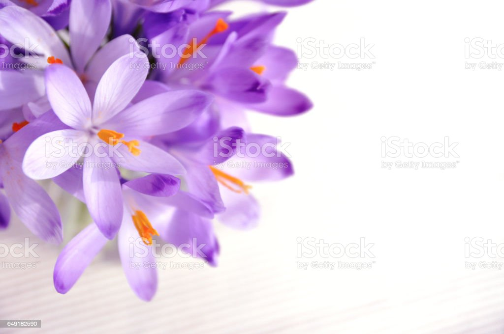 Bouquet of spring whitewell purple crocus in vase on white background stock photo