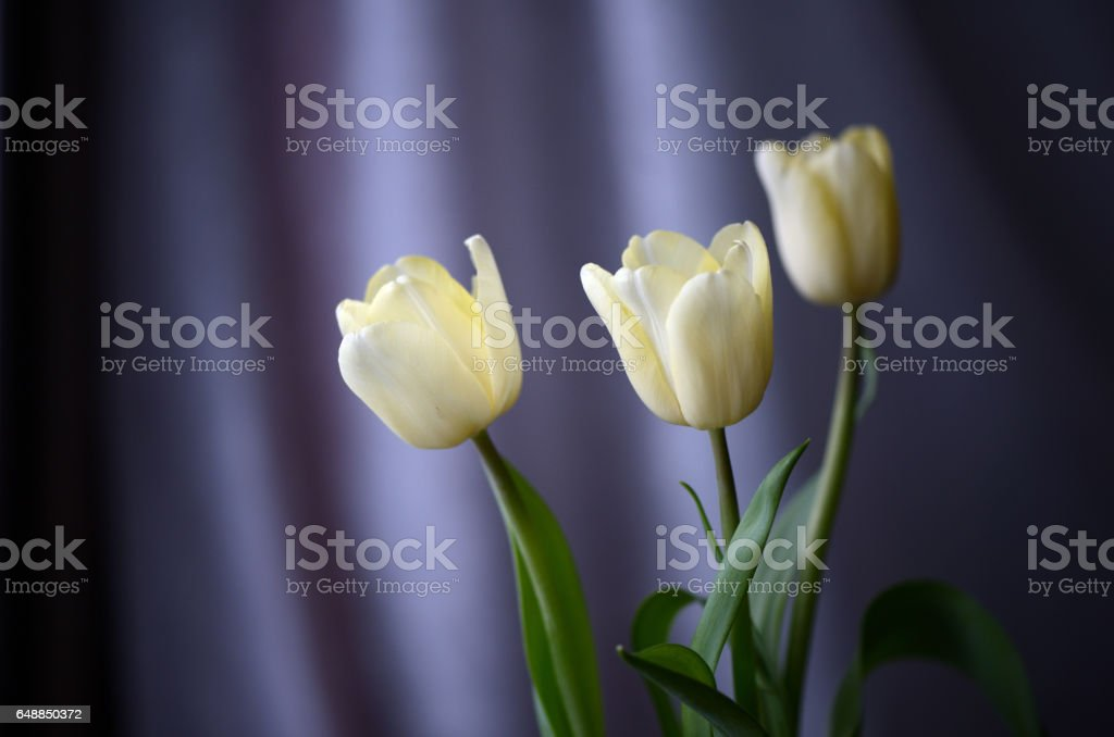 Bouquet of the light-yellow tulips lit with daylight in cloudy weather stock photo