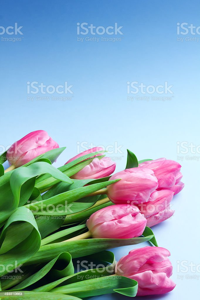 Bouquet of tulips on blue background royalty-free stock photo