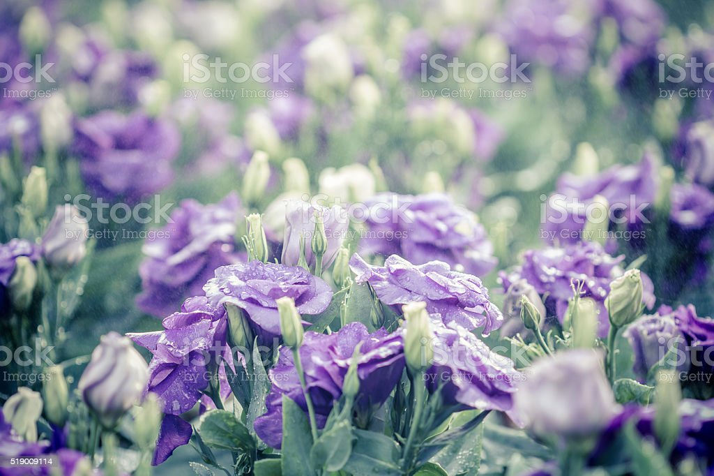 bouquet of violet lisianthus flowers stock photo