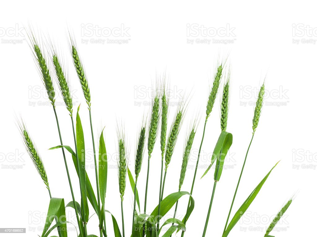 Bouquet Of Wheat Ears Isolated On White Background stock photo