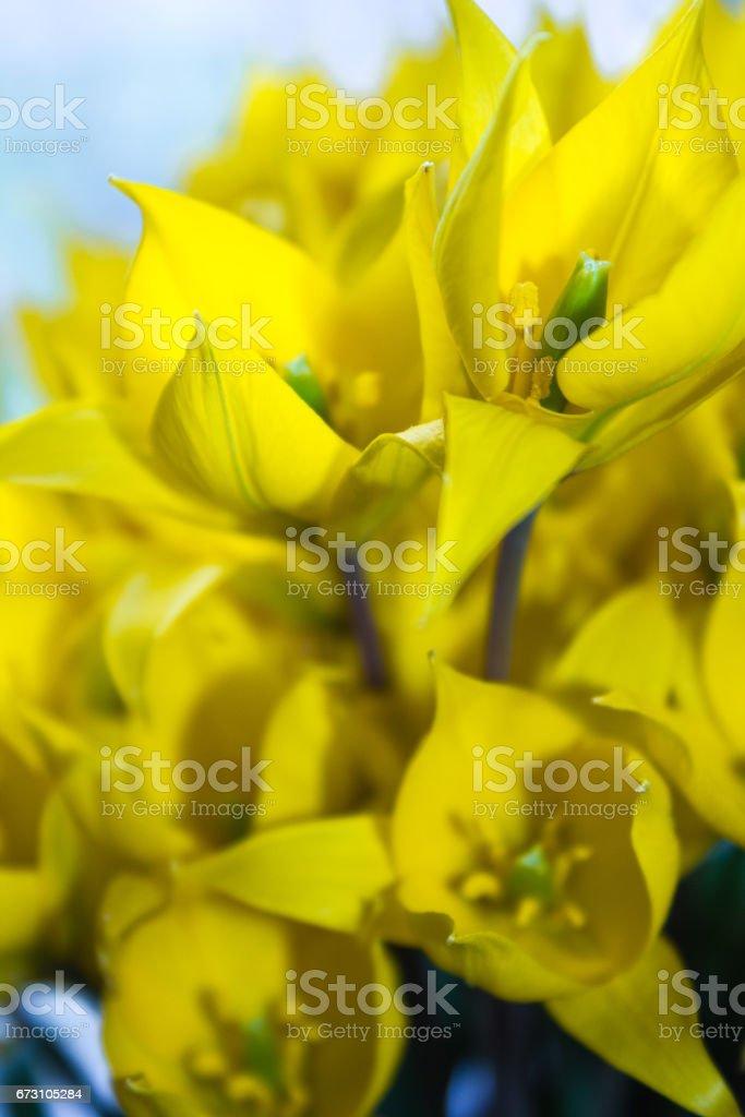 bouquet of wild yellow tulips stock photo
