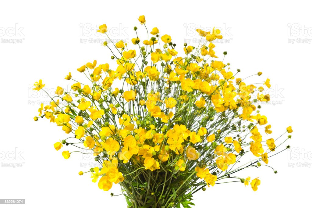 Bouquet of yellow buttercaps isolated a white background. stock photo