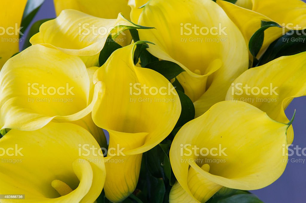 Bouquet of yellow Calla lilies royalty-free stock photo