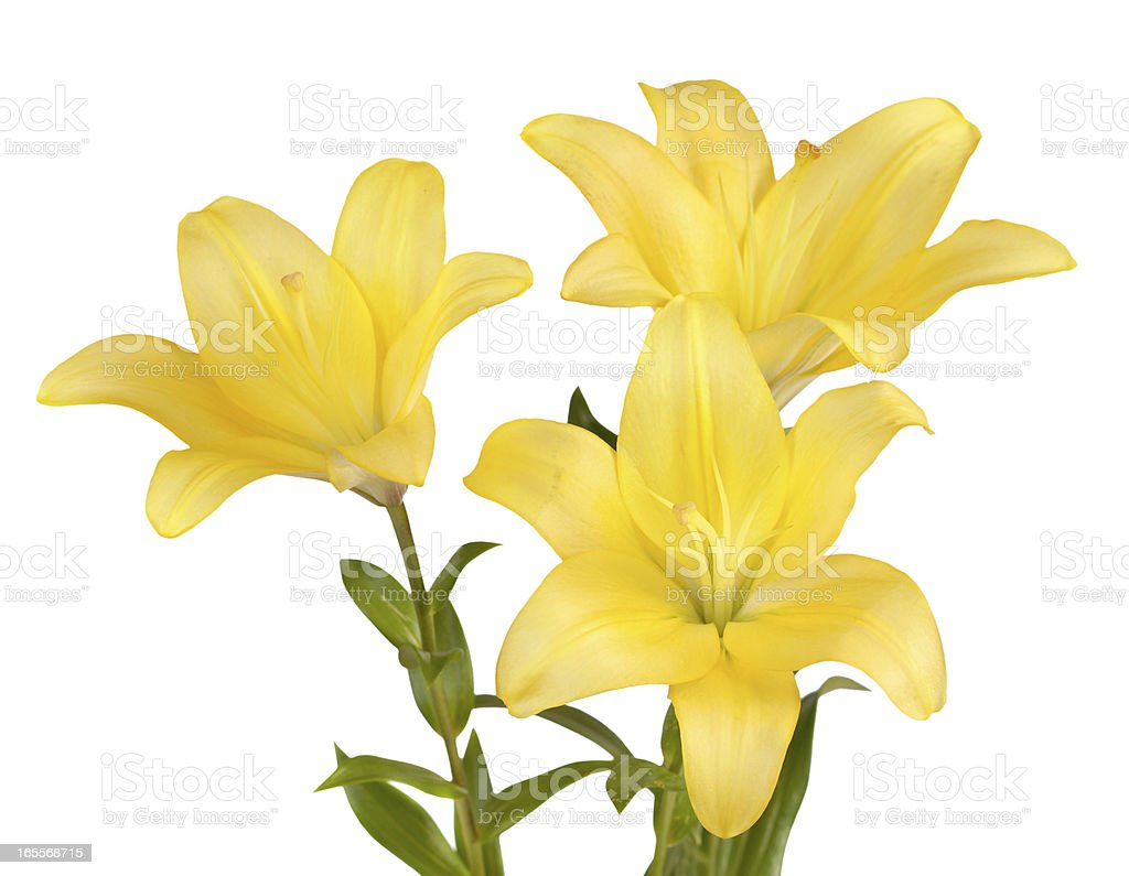 Bouquet of yellow lilies royalty-free stock photo