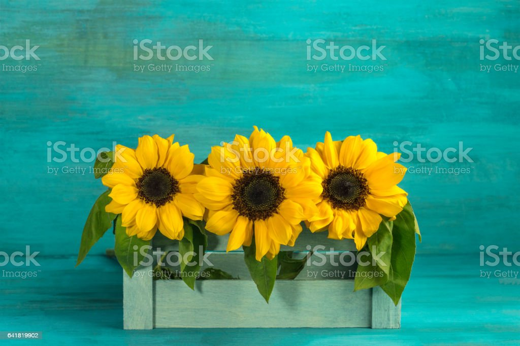 Bouquet of yellow sunflowers on teal background stock photo