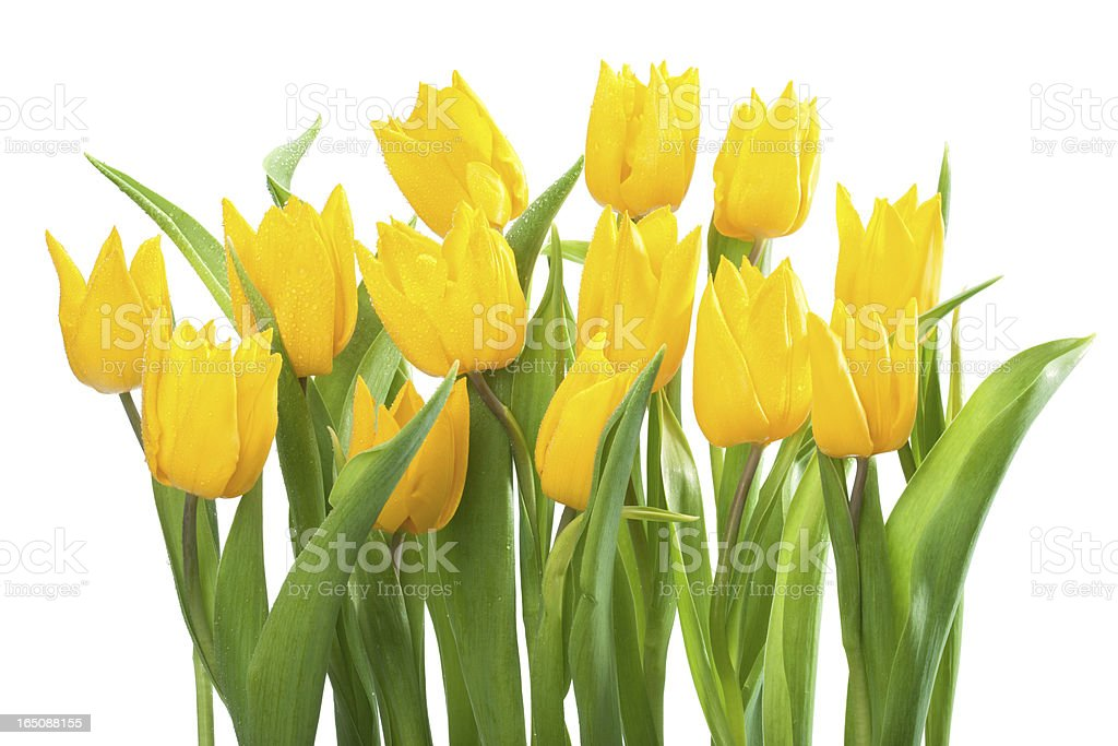 Bouquet of Yellow Tulips royalty-free stock photo