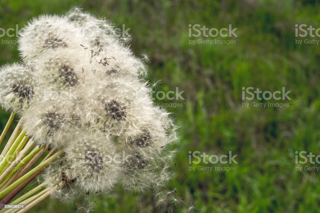 Bouquet summer dandelions and green meadow stock photo