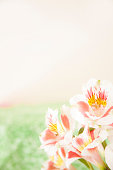 Bouquet white, pink spring alstroemeria flowers on green background.