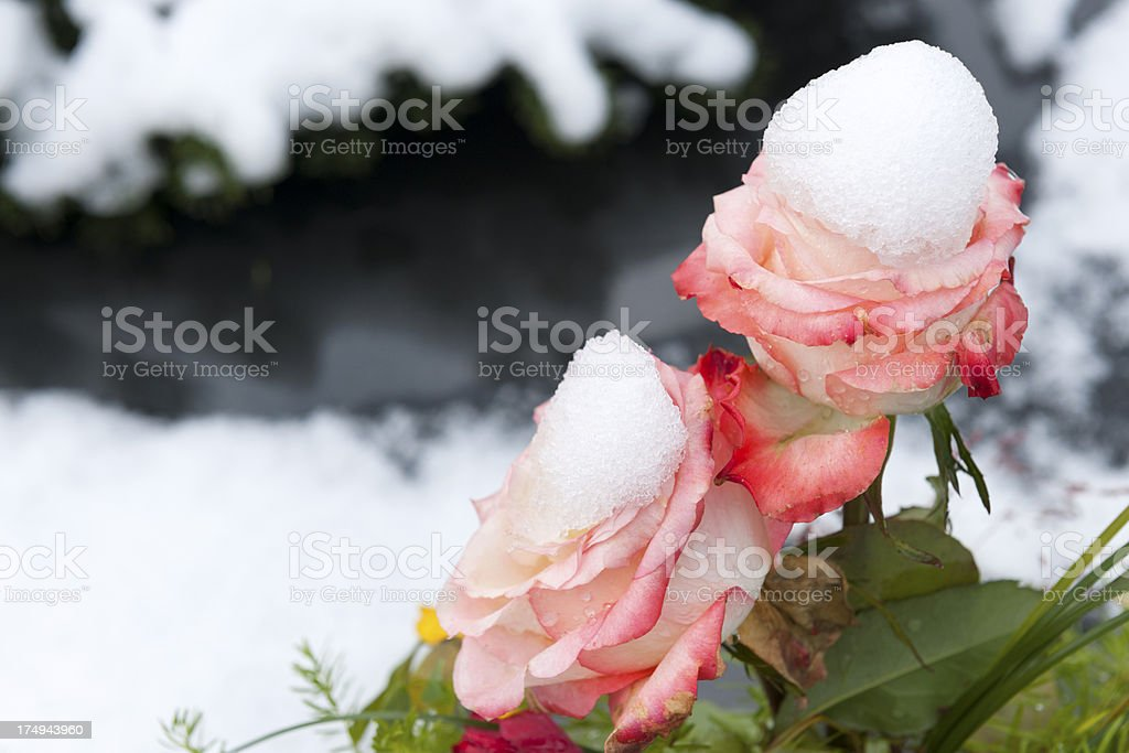 Bouquet with Dying Roses Snow Caps stock photo