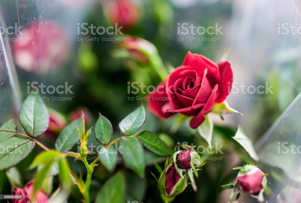 Bouquet with potted red roses wrapped in plastic stock photo