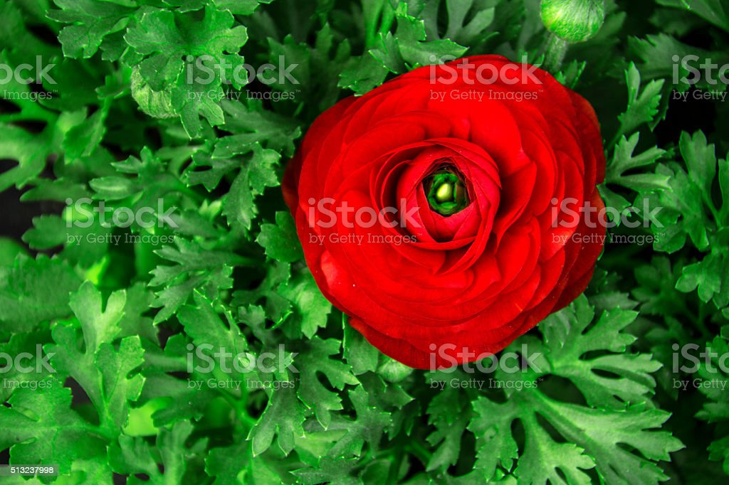 Bouquet with yellow ranunkulyus on the background of green leaves stock photo