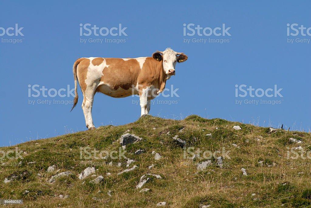 Bovine on the Skyline royalty-free stock photo