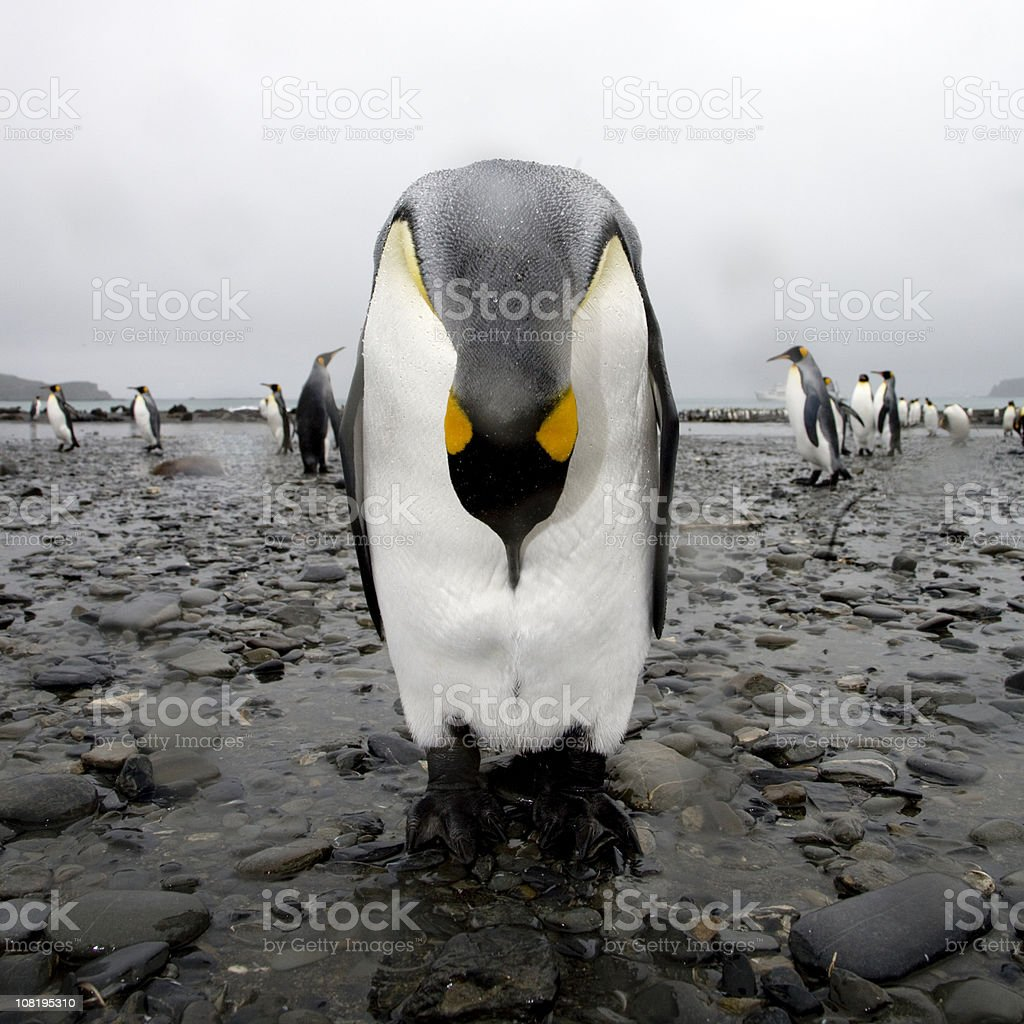 Bowing King Penguin stock photo