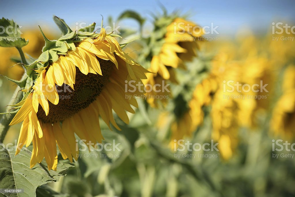 Bowing Sunflowers stock photo