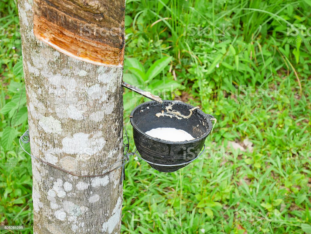 Bowl for collecting latex from a rubber tree. Rubber tapping. stock photo