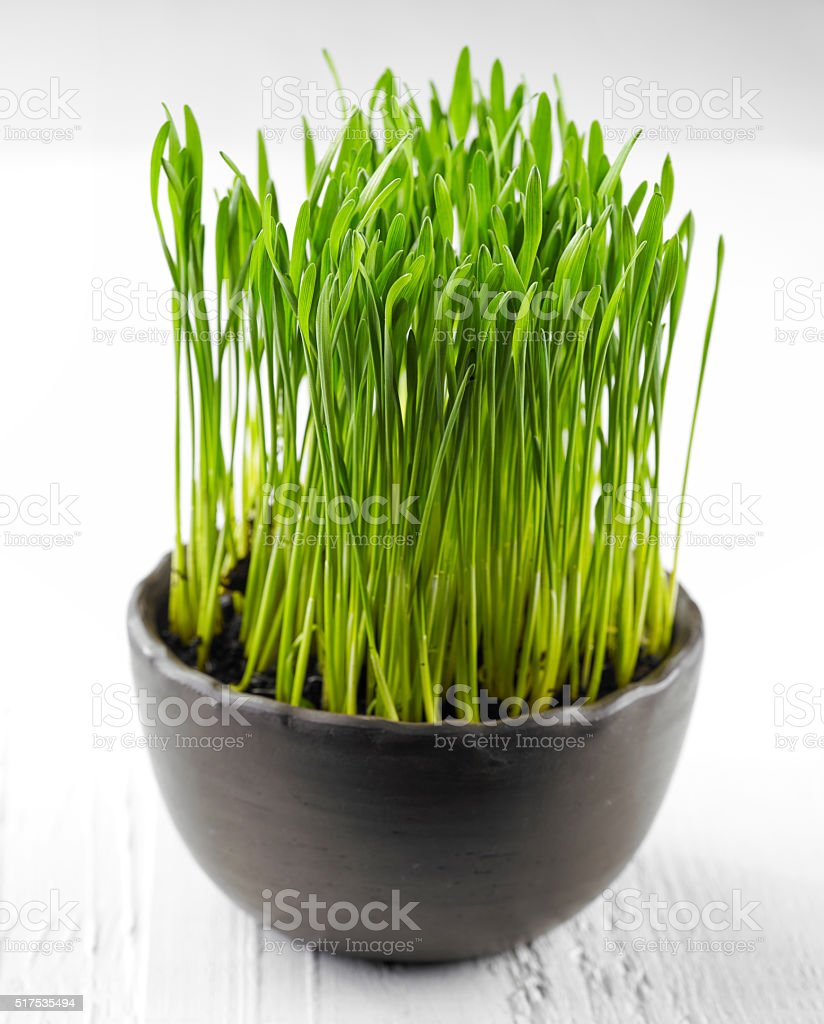 bowl of wheat grass stock photo